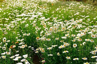 wtls-2野菊花提取物10:1 菊花粉
